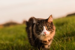 Norwegian Forest cat hunting in meadow at sunset. Soft light.