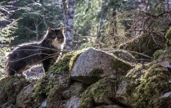 Norwegian forest cat in a natural environment