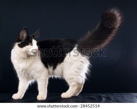 Norwegian Forest Cat Juvenile Black And White Cat, On Black Background