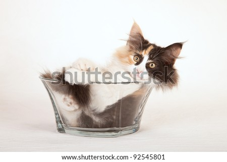 Norwegian Forest Cat kitten in glass bowl on painted cream vignette canvas background