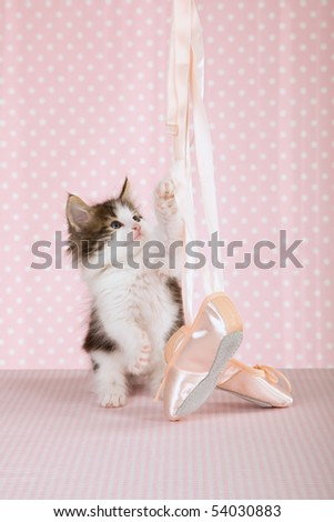 Norwegian Forest Cat kitten with ballet shoes on pink background