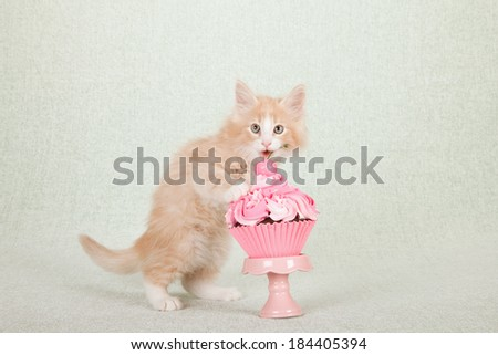 Norwegian Forest Cat kitten with pink cupcake on pink cupcake stand on light green background