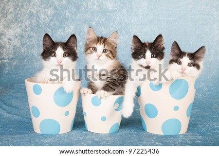 Norwegian Forest Cat kittens in blue polka dot containers