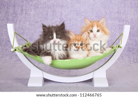 Norwegian Forest Cat kittens lying in miniature green hammock on lilac background