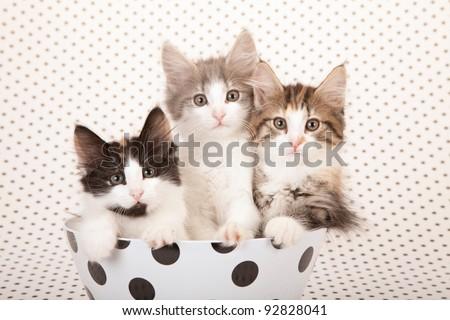 Norwegian Forest Cat kittens sitting inside polka dot bowl