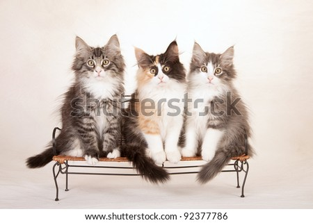 Norwegian Forest Cat kittens sitting on mini bench on painted cream canvas background