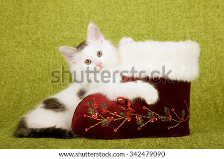 Norwegian Forest Cat kittens sitting with and inside vintage burgundy red Christmas XMas Santa boot on green background