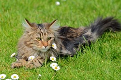 Norwegian Forest Cat, long-haired cat lying on the grass with daisy