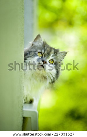 Norwegian Forest Cat lying on the window sill.