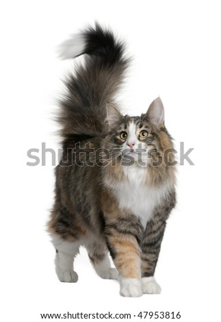 Norwegian Forest Cat (8 months old) in front of a white background