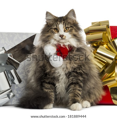 Norwegian Forest cat wearing a christmas scarf, with present boxes, isolated on white
