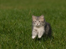 Norwegian Forest  kitten