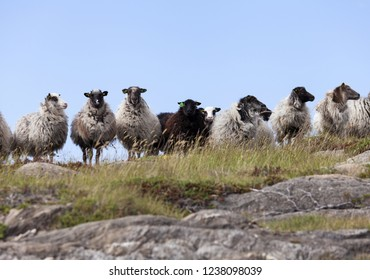Stock photo of Norwegian sheep (villsau), used for landscape management at coastal area in Nordland, Norway. They are adapted to local environmental conditions and can live outdoors year around.