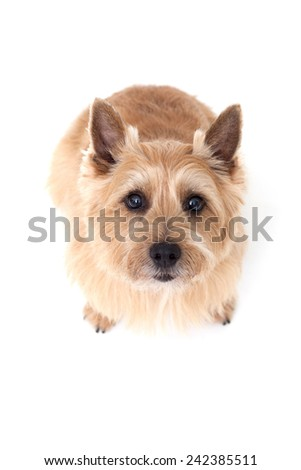 Norwich terrier dog isolated on white background #242385511
