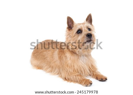 Norwich terrier dog isolated on white background #245179978