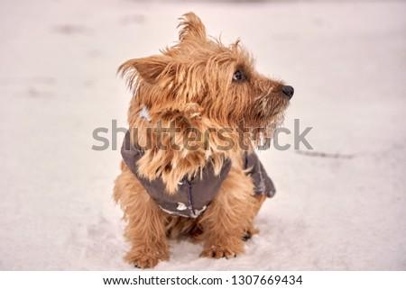 Norwich Terrier playing outside in the winter, copypaste #1307669434