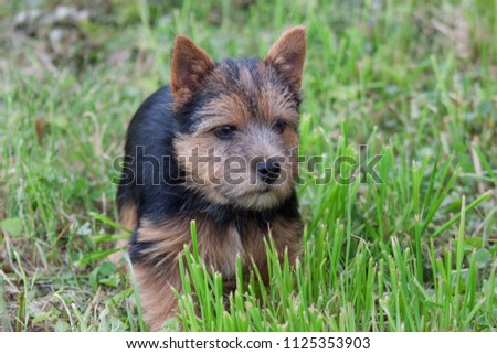 Norwich terrier puppy is standing in a green grass. #1125353903
