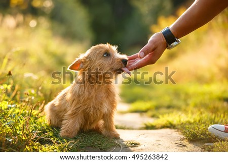 Norwich Terrier puppy licking human hand in autumn outdoor background #495263842