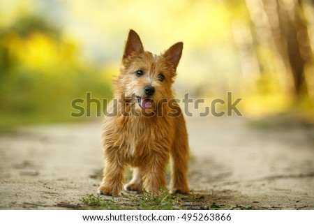 Norwich Terrier puppy standing in autumn yellow outdoor background #495263866