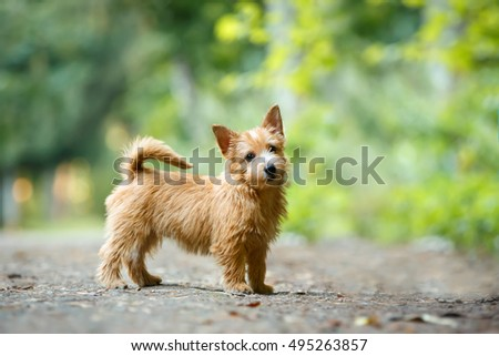Norwich Terrier puppy standing in summer outdoor background #495263857