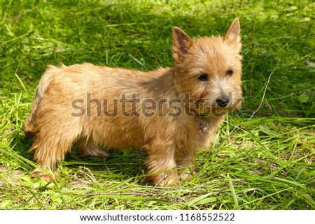 Norwich Terrier stands in the green grass #1168552522