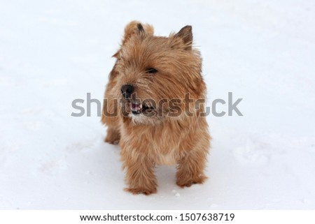 Norwich Terrier stands in the snow #1507638719