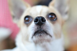 Nose Chihuahua closeup of the dog's face is blurred