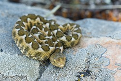 Nose-horned Viper - Vipera ammodytes also horned or long-nosed viper, nose-horned viper or sand viper, species found in southern Europe, Balkans and Middle East.