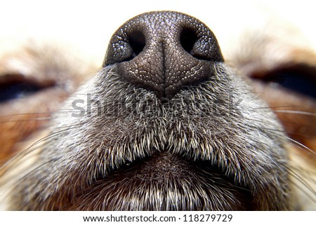 Nose of dog, my lovely chihuahua