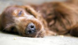 Nose of sleeping Irish Setter dog