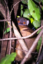 Nosey Be Sportive lemur (Lepilemur tymerlachsonorum) sitting in a tree, Nosy Be, Madagascar