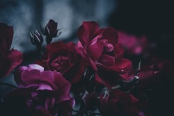 Nostalgic and gloomy roses with a gray background.
