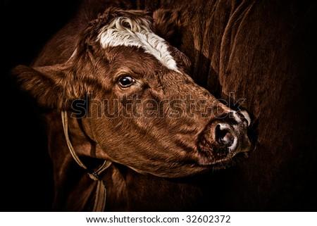Nosy cow