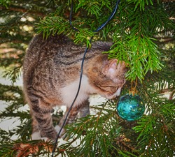 Nosy little cat in a Christmastree playing with Christmas decoration.