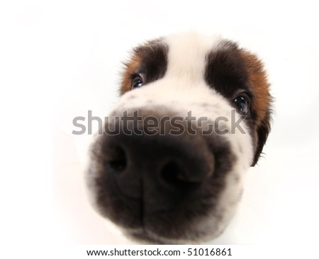 Nosy Sniffing Saint Bernard Puppy on White Background With Distorted Features