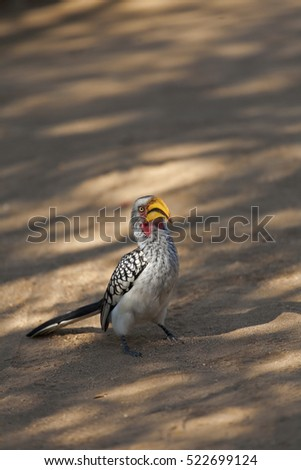 Not a Fellow, but a Yellow billed hornbill