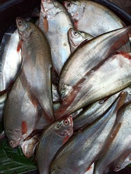 Notopterus fish of nature, Delicious,  fine, Knife fish,