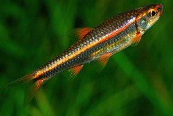 Notropis hypselopterus The sailfin shiner (Pteronotropis hypselopterus) is a species of cyprinid fish endemic to the southeastern United States