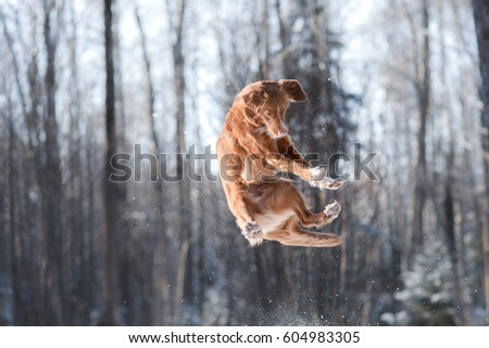 Nova Scotia Duck Tolling Retriever breed dog high jumping outdoors in park #604983305