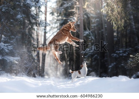 Nova Scotia Duck Tolling Retriever breed dog high jumping outdoors in park #604986230