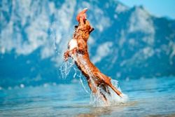 Nova scotia duck tolling retriever dog aka toller jumping and catching a toy. Mountains, lake, water background