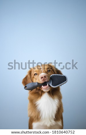 Nova scotia duck tolling retriever dog holding a brush in its mouth, groomer, grooming, dog shedding season