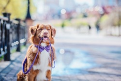 Nova Scotia Duck Tolling Retriever dog holding the leash in his mouth