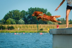 Nova scotia duck tolling retriever dog jumping from a dock into a body of water. Dog diving, dog sport.