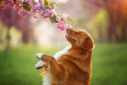 Nova scotia duck tolling retriever dog smelling a pink sakura flower on sunny spring day