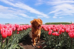 Nova scotia toller runs in the dutch tulip fields.