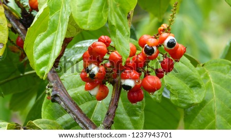 November 21, 2018. Guarana shrubs with fruits (Paullinia cupana), Sapindaceae family. Location: Maués. Amazon, Brazil