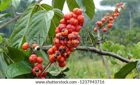 November 21, 2018. Guarana shrubs with fruits (Paullinia cupana). Sapindaceae family. Location: Maués. Amazon, Brazil