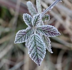 november morning frost on a blackberry bush leaf