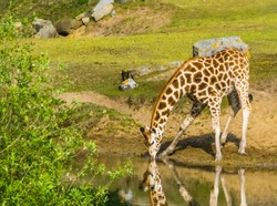 Nubian giraffe standing at the water side drinking some water, critically endangered animal species from Africa